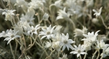 Flannel flowers and dew