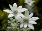 Flannel flowers, Munmorah State Conservation Area