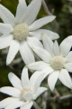 Dew on flannel flowers