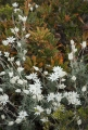 Flannel Flowers and Wallum Banksia