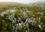 Heath of banksia and flannel flowers