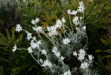 Flannel flowers amongst banksias