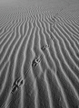 Raven tracks, Myall Lakes National Park