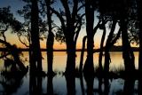 Paperbark silhouette