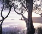 Paperbark dawn