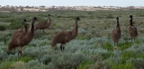 Emus, Mungo National Park