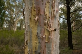 Inland Scribbly Gum, Pilliga East State Conservation Area