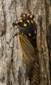 Cherrynose cicada, Pilliga Nature Reserve