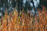 Reeds, Lachlan River