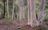 Inland Scribbly Gums, Warrumbungle National Park