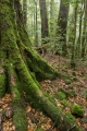 Antarctic Beech forest, Mount Allyn Range