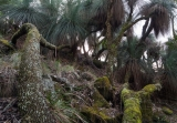 Ancient grasstrees, Barrington Tops National Park
