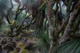 Grasstrees at dusk, Barrington Tops National Park