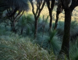 Grasstrees, Barrington Tops National Park