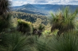 Grasstrees, Paterson River valley and Barrington Tops