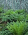 Tree ferns and wattles