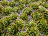 Aciphylla, Mount Titiroa, Fiordland