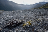 Edelweiss and scree, Hunter Mountains, Fiordland