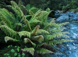 Ferns, Kenneth Burn, Fiordland