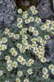 Raoulia grandiflora, Matterhorn Mountains, Fiordland