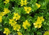 Ranunculus sericophyllus, Matterhorn Mountains, Fiordland