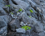 Ranunculus sericophyllus, Koinga Peak, Fiordland