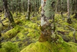 Mossy beech forest, Fiordland