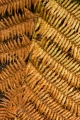 Golden fern, Lake Manapouri