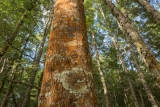 Red Beech forest, Lake Manapouri