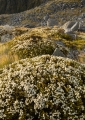 Alpine shrubs, Hunter Mountains