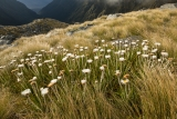 Daisies, Hunter Mountains