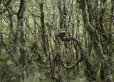 Bushline forest, Hunter Mountains