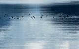 Scaup, Lake Manapouri
