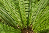 Crown Fern