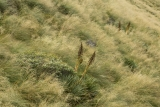 Spaniards in tussock, Eyre Mountains
