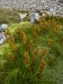 Aciphylla, Eyre Mountains