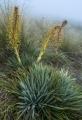 Giant Aciphylla, Garvie Mountains