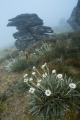 Daisies, fog and outcrop, Garvie Mountains