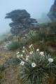 Daisies, fog and outcrop, Garvie Mountains