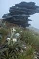 Daisies and leaning stone, Garvie Mountains
