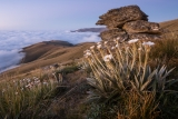 Daisies at dawn, Garvie Mountains