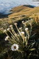 Daisies and tussock ridge, Garvie Mountains