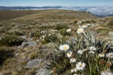 Daisies, Garvie Mountains