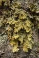 Lichen on beech tree, Garvie Mountains