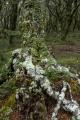 Beech tree lichens