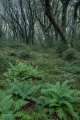 Crown ferns and bushline beech forest