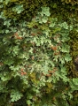 Rainforest lichens