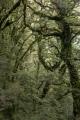 Montane beech forest, Tunnel Creek