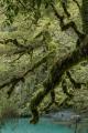 Silver Beech epiphytes, Paringa River