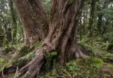 Southern rata tree, Fiordland